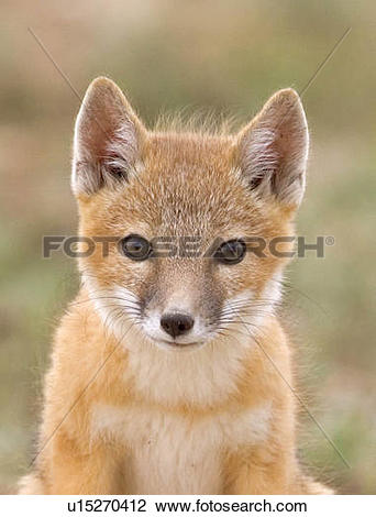 Swift Fox clipart #14, Download drawings