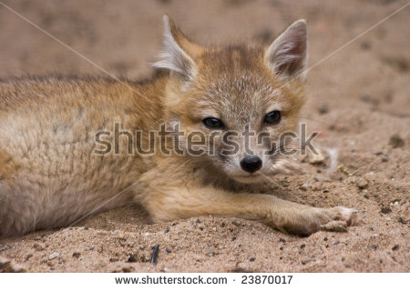 Swift Fox clipart #1, Download drawings
