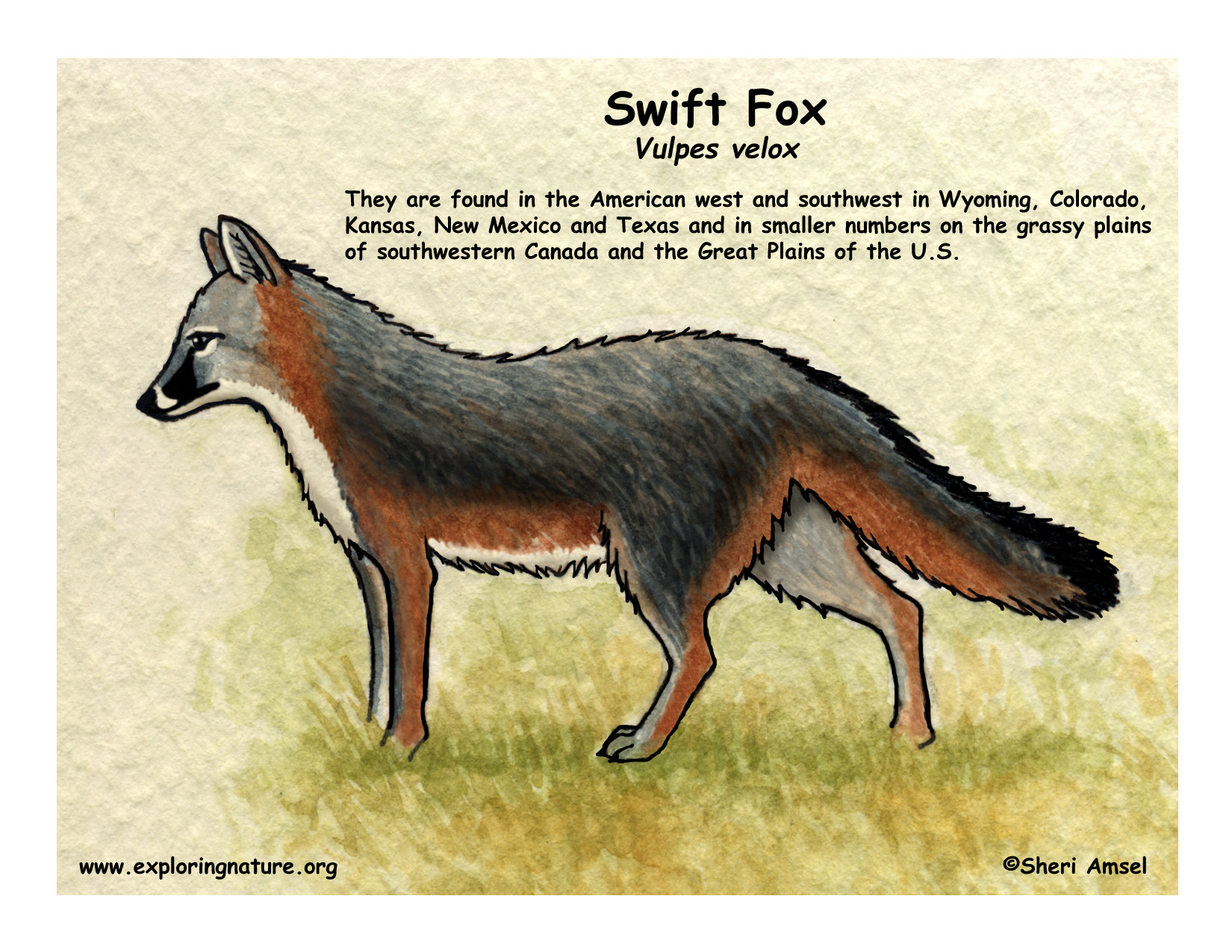 Swift Fox coloring Download Swift