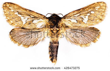 Swift Moth clipart #13, Download drawings