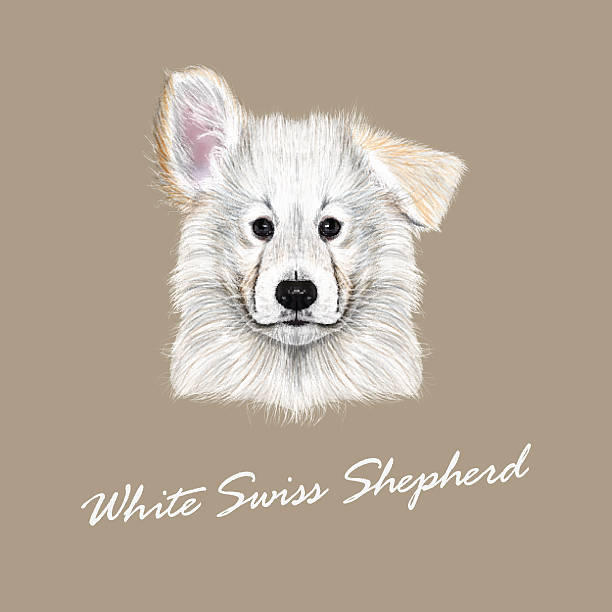 Swiss Shepherd clipart #12, Download drawings