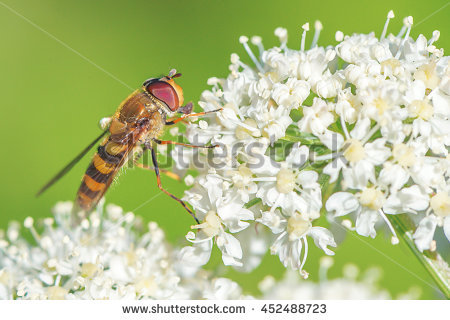 Syrphid Flies clipart #1, Download drawings