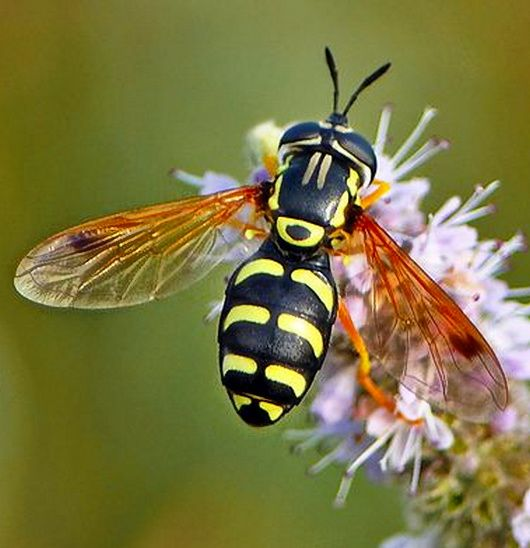 Syrphid Flies clipart #11, Download drawings