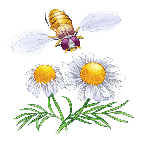 Syrphid Flies clipart #4, Download drawings