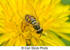 Syrphid Flies clipart #10, Download drawings