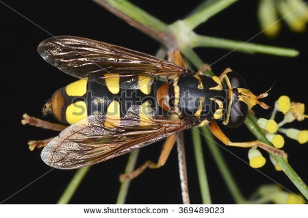 Syrphid Flies clipart #6, Download drawings