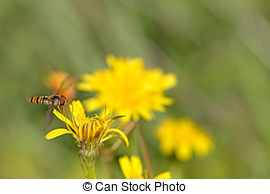 Syrphid Flies clipart #13, Download drawings