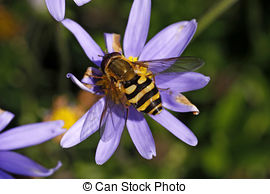 Syrphid Flies clipart #9, Download drawings