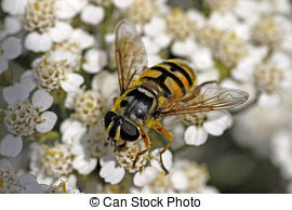 Syrphid Flies clipart #20, Download drawings