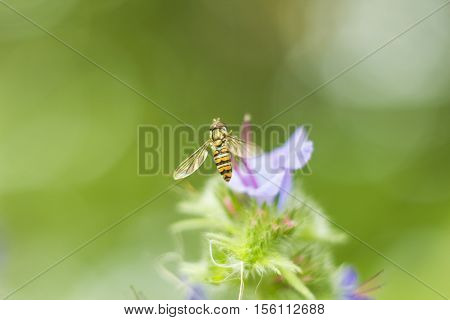 Syrphid Flies clipart #2, Download drawings