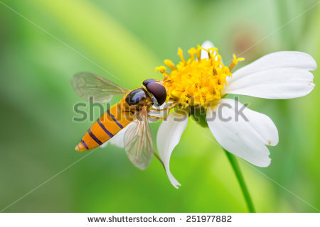 Syrphid Flies clipart #5, Download drawings