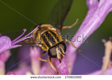 Syrphid Flies clipart #7, Download drawings