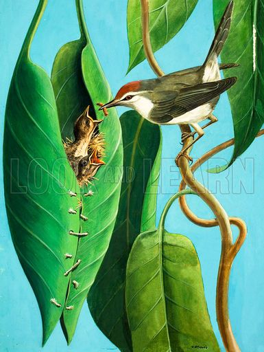 Tailorbird clipart #9, Download drawings
