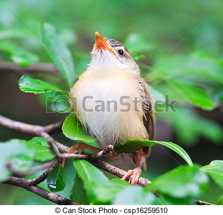 Tailorbird clipart #6, Download drawings