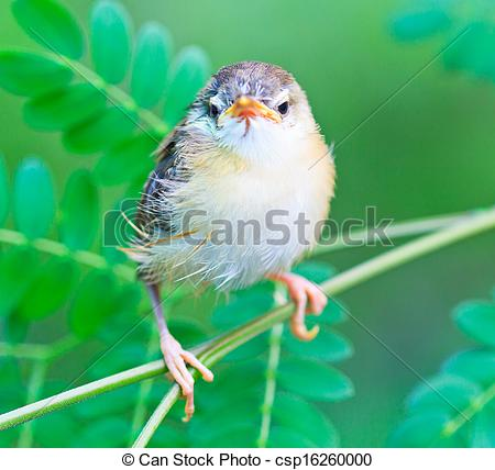 Tailorbird clipart #13, Download drawings