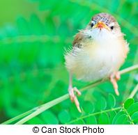 Tailorbird clipart #10, Download drawings