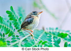 Tailorbird clipart #2, Download drawings