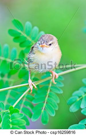 Tailorbird clipart #5, Download drawings