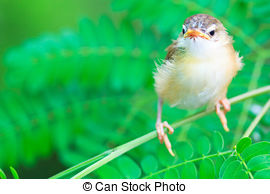 Tailorbird clipart #14, Download drawings