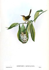Tailorbird clipart #4, Download drawings