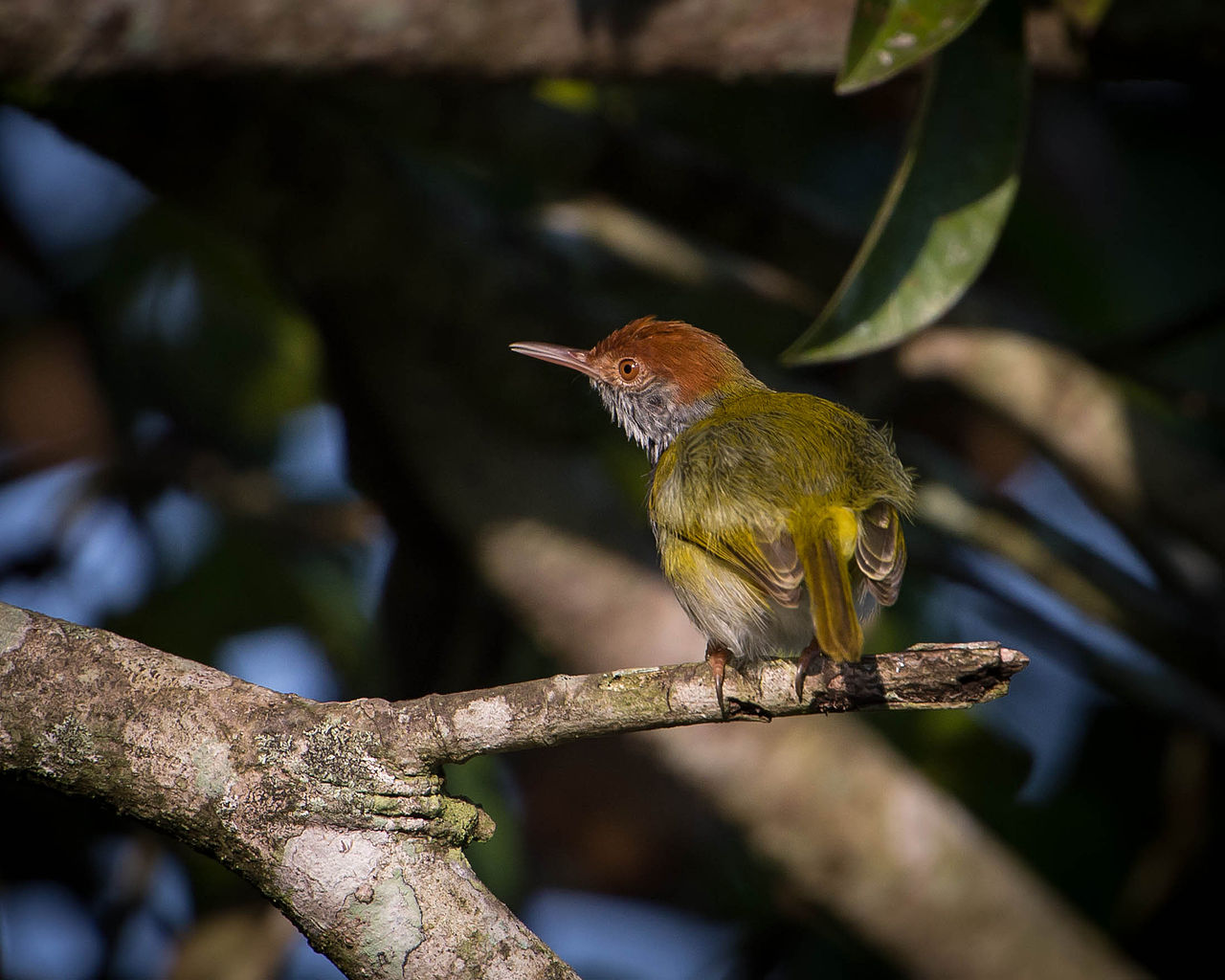 Tailorbird svg #6, Download drawings