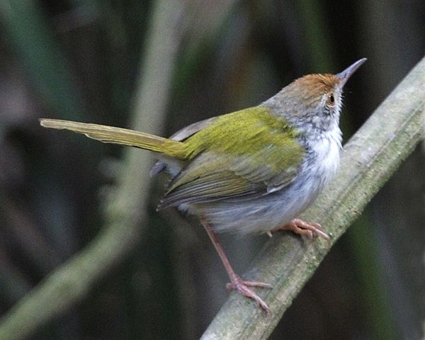 Tailorbird svg #15, Download drawings