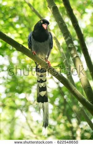 Taiwan Blue Magpie clipart #2, Download drawings