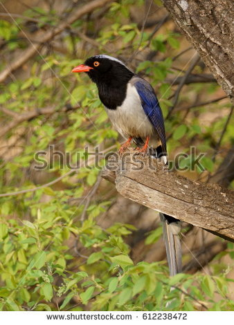 Taiwan Blue Magpie clipart #15, Download drawings