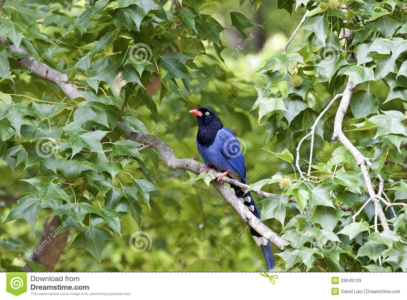 Taiwan Blue Magpie clipart #8, Download drawings