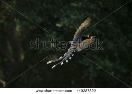 Taiwan Blue Magpie clipart #14, Download drawings