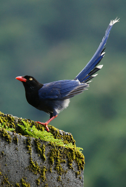 Taiwan Blue Magpie clipart #7, Download drawings