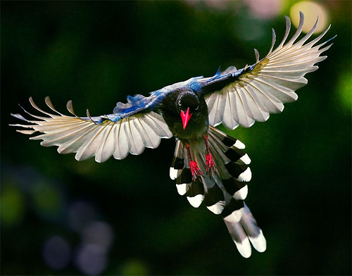 Taiwan Blue Magpie clipart #17, Download drawings