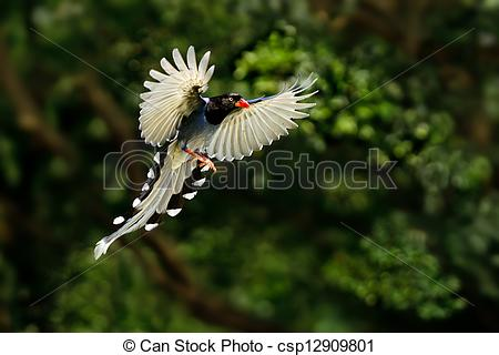 Taiwan Blue Magpie clipart #19, Download drawings