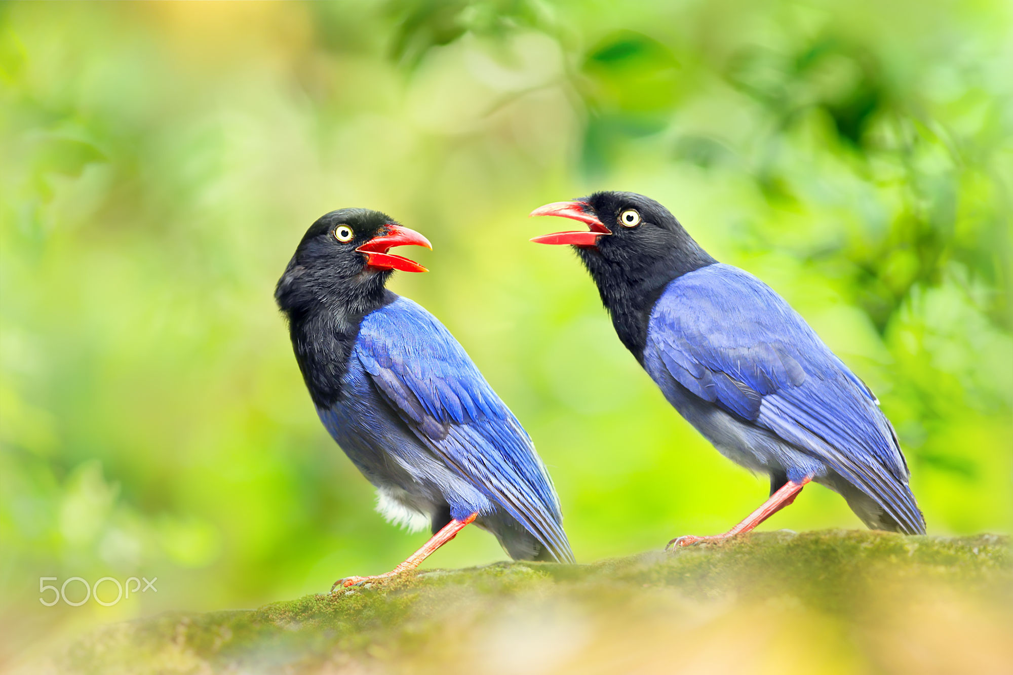 Taiwan Blue Magpie clipart #4, Download drawings