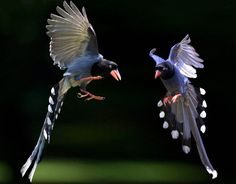 Taiwan Blue Magpie clipart #11, Download drawings