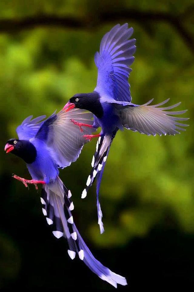 Taiwan Blue Magpie clipart #9, Download drawings