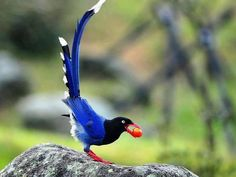 Taiwan Blue Magpie clipart #18, Download drawings