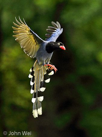 Taiwan Blue Magpie clipart #6, Download drawings