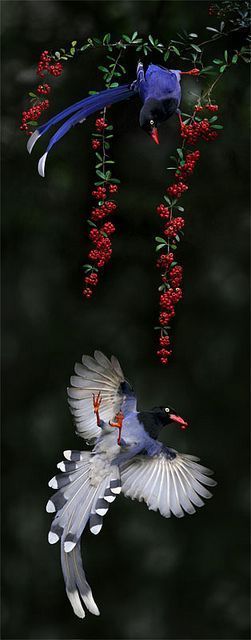 Taiwan Blue Magpie svg #1, Download drawings