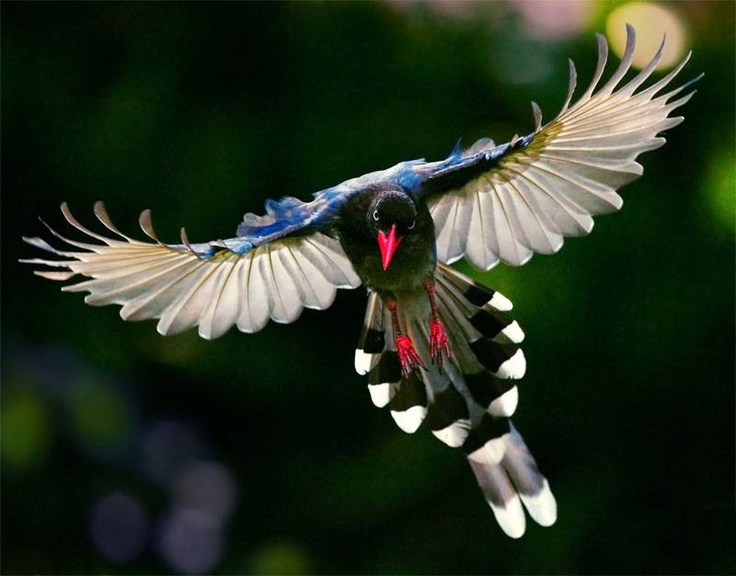 Taiwan Blue Magpie svg #4, Download drawings
