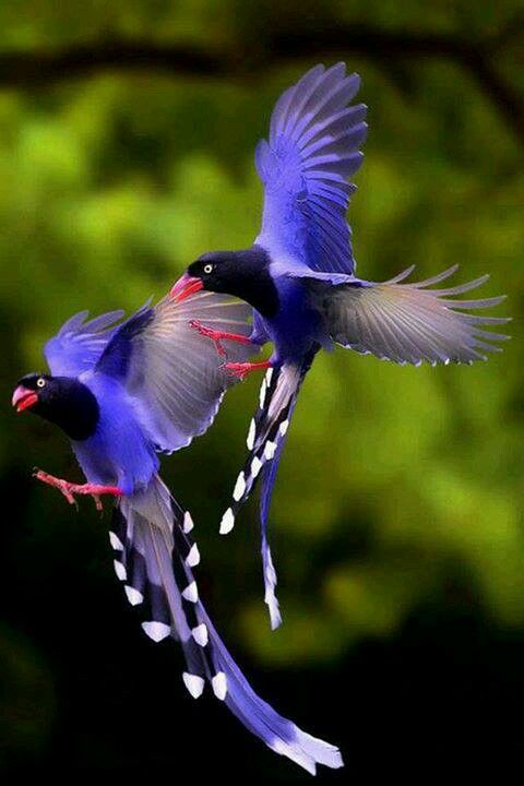 Taiwan Blue Magpie svg #3, Download drawings