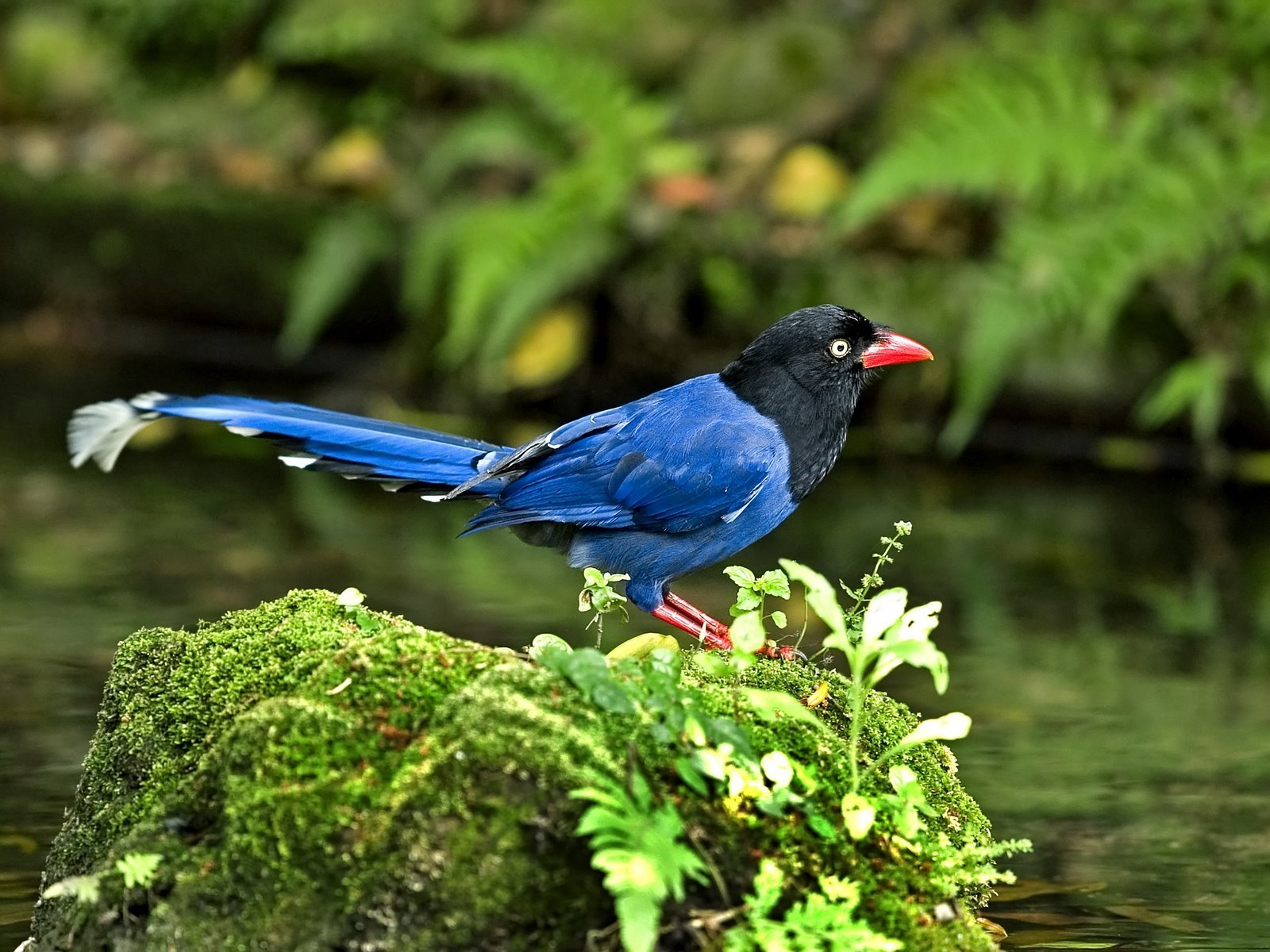 Taiwan Blue Magpie svg #5, Download drawings