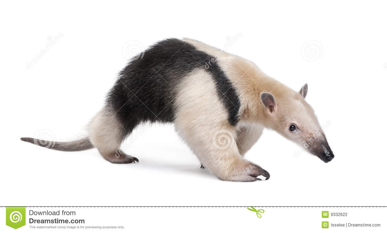 Tamandua clipart #19, Download drawings