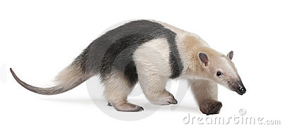 Tamandua clipart #7, Download drawings