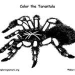 Tarantula coloring #3, Download drawings