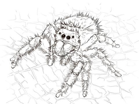 Tarantula coloring #1, Download drawings