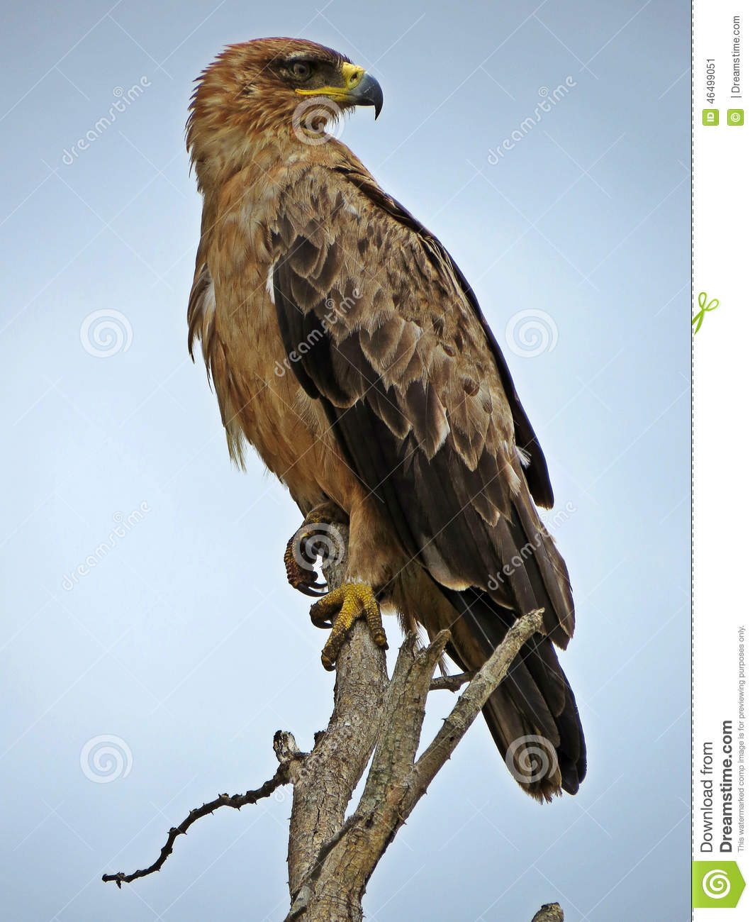 Tawny Eagle clipart #2, Download drawings