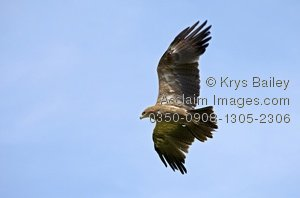 Tawny Eagle clipart #11, Download drawings