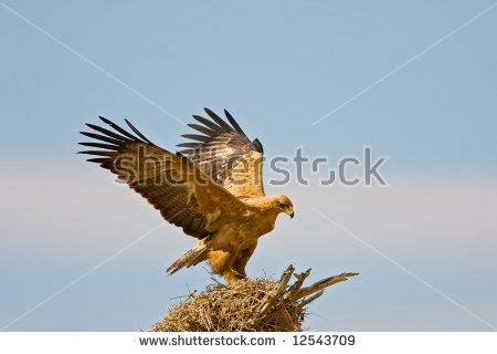 Tawny Eagle clipart #17, Download drawings
