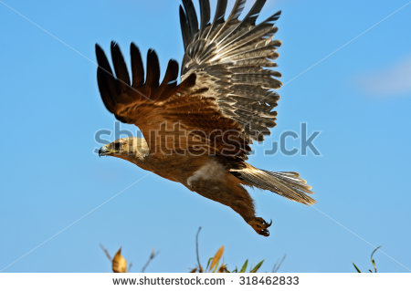 Tawny Eagle clipart #9, Download drawings